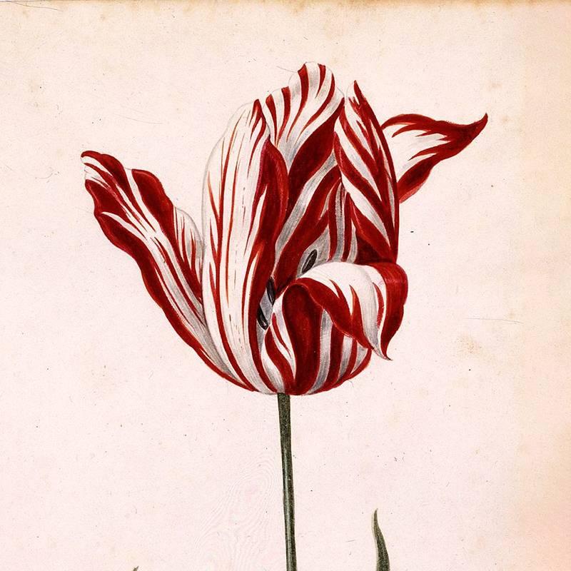 Так выглядел самый дорогой тюльпан в 1636году. Источник: Atlas Obscura