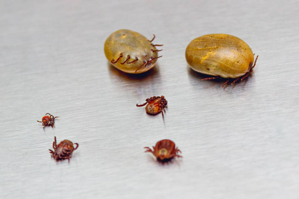Понять, как долго клещ просидел подкожей, можно по размерам паразита. Чем он больше и упитаннее, тем больше крови выпил, а значит, тем больше времени провел подкожей. Фото: Topolszczak / Shutterstock