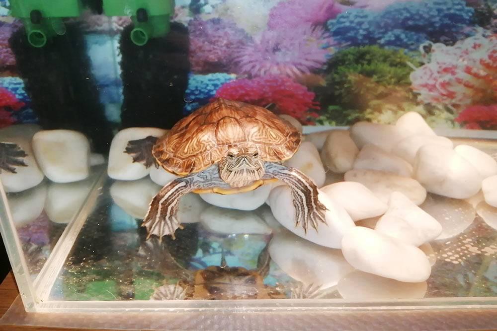 Это наша черепаха, ее зовут Чипа