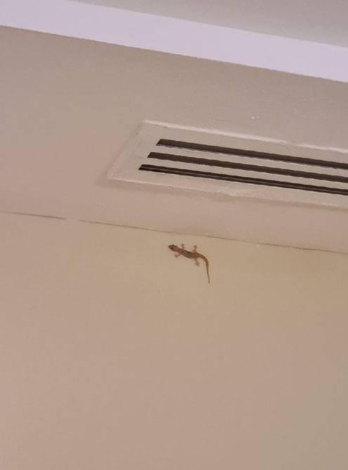 У нас дома гекконы тоже водятся