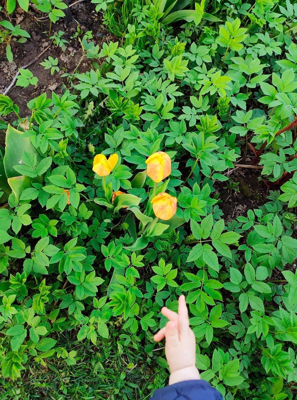 Майя и тюльпаны