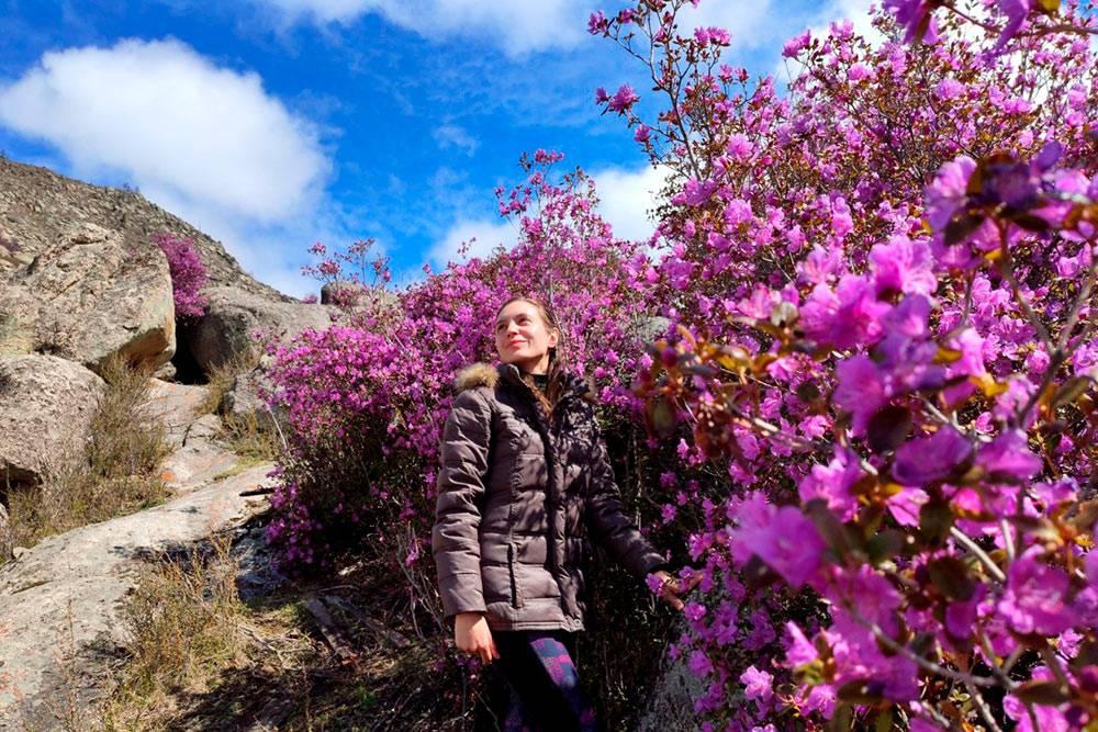 Цветущий маральник в мае. Туристы называют его алтайской сакурой