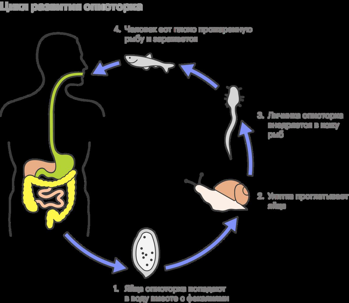 Так выглядит цикл развития описторха. У широкого лентеца он чуть сложнее, но один из промежуточных хозяев тоже рыба