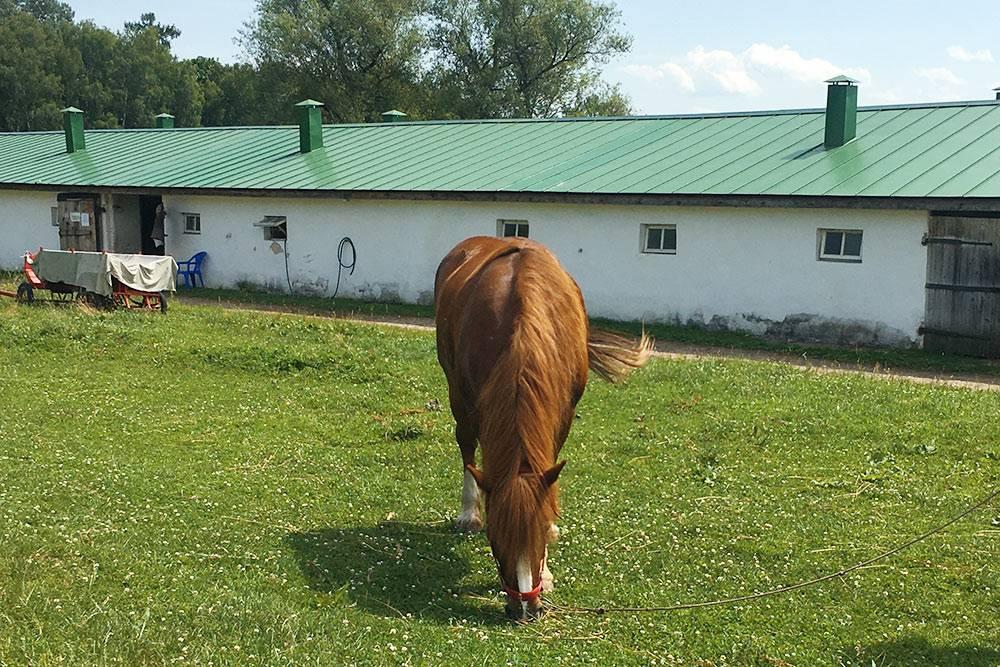 Лошади гуляют перед конюшней или на специальном лугу