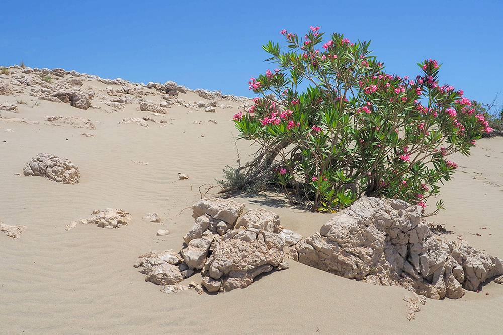 Среди дюн мы увидели много кустов олеандра