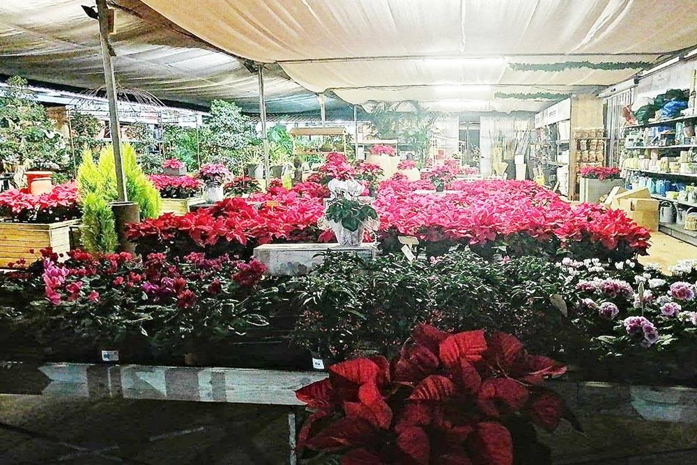 Так выглядел мой единственный в году реальный шопинг — в цветочном магазине мы выбирали елку длядома. В итоге остановились на рождественском цветке
