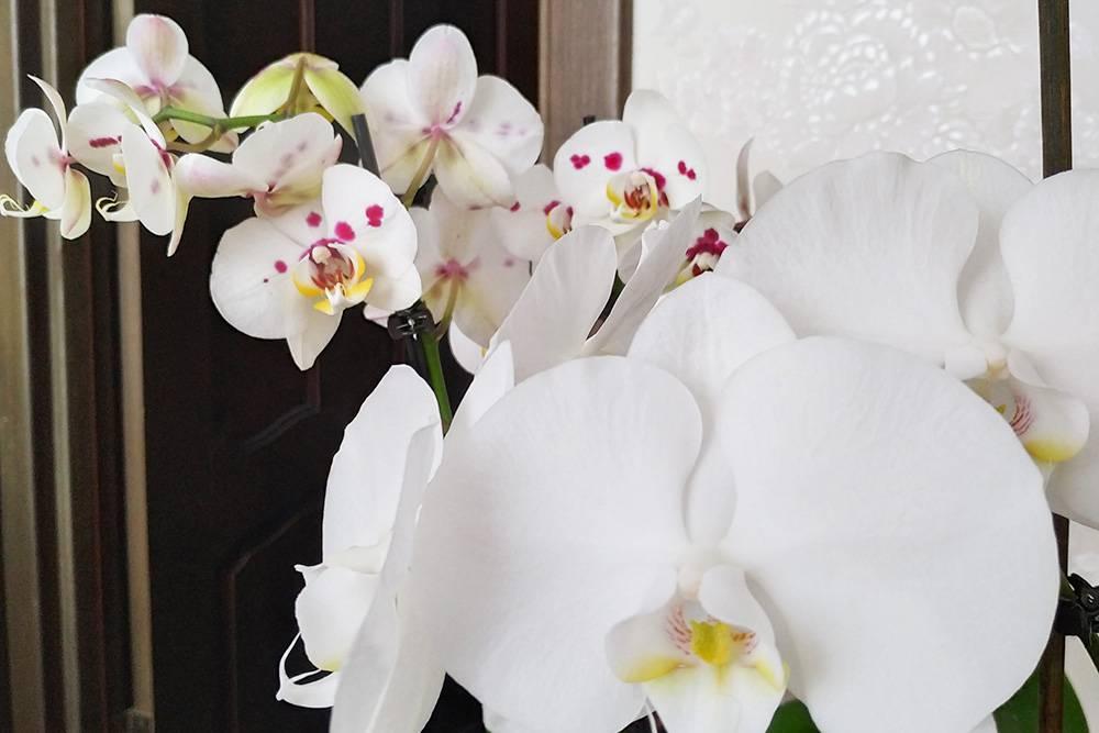 Дома у меня из цветов есть только орхидеи, таккак кот все остальные цветы жрет
