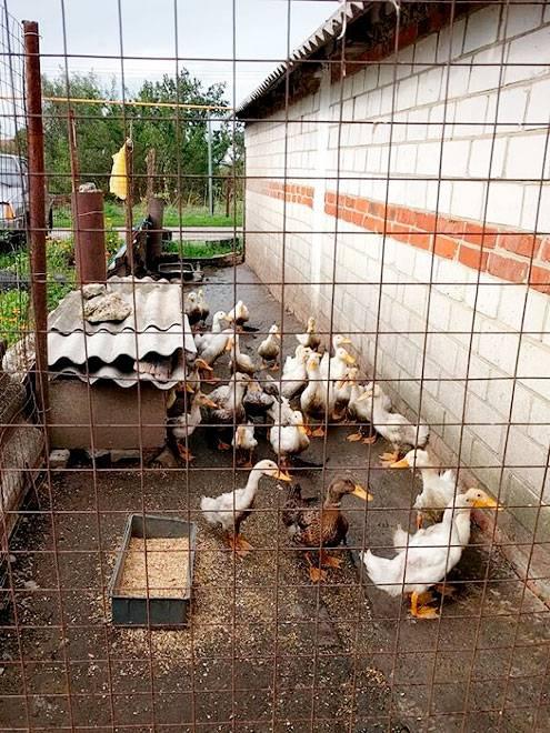 Летом утки гуляют на улице, зимой их держат в теплых сараях и гаражах
