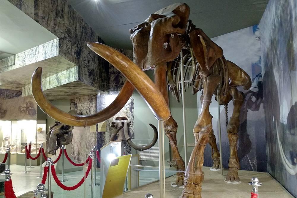 Трогонтериевый мамонт — вымершее млекопитающее из семейства бобровых. Возраст этого скелета — 600—700 тысяч лет