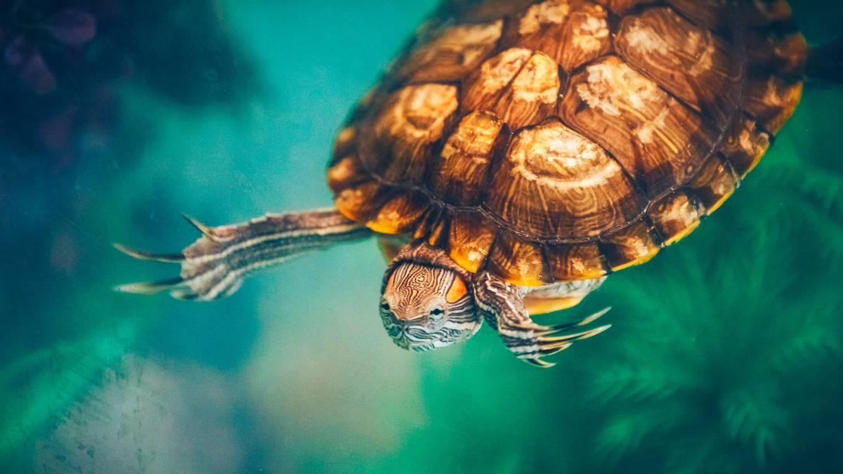 Сколько стоит содержать красноухую черепаху