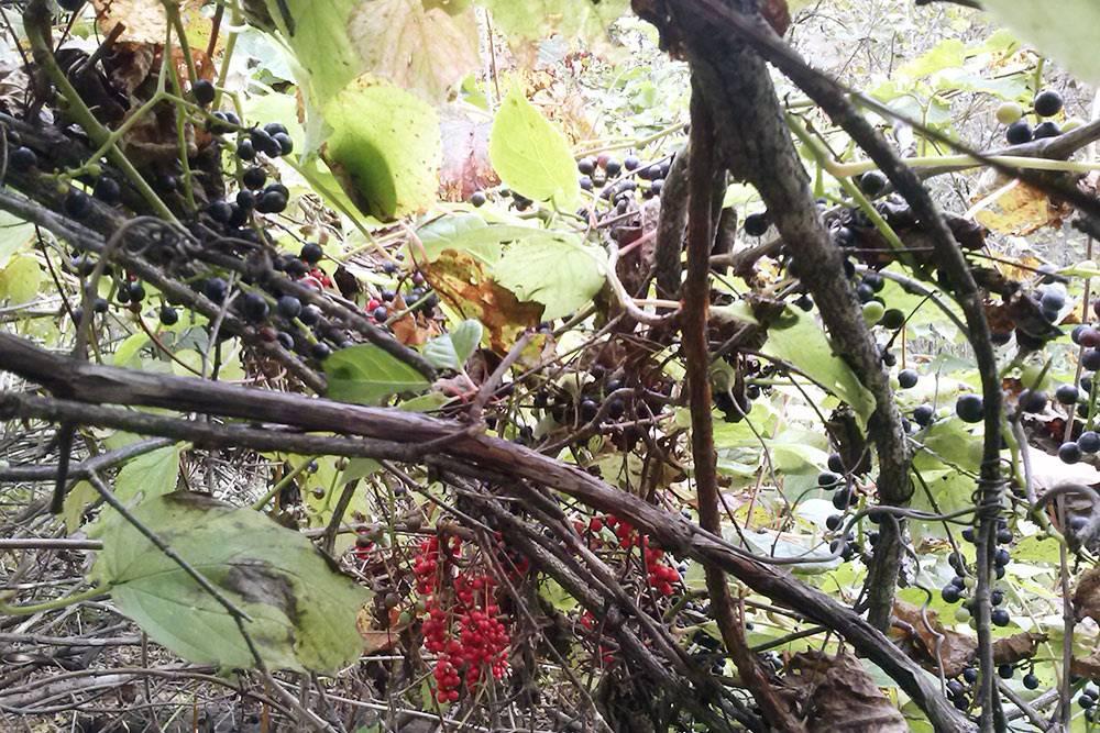 Часто лимонник растет рядом сдиким виноградом. Наэтой фотографии — комбо