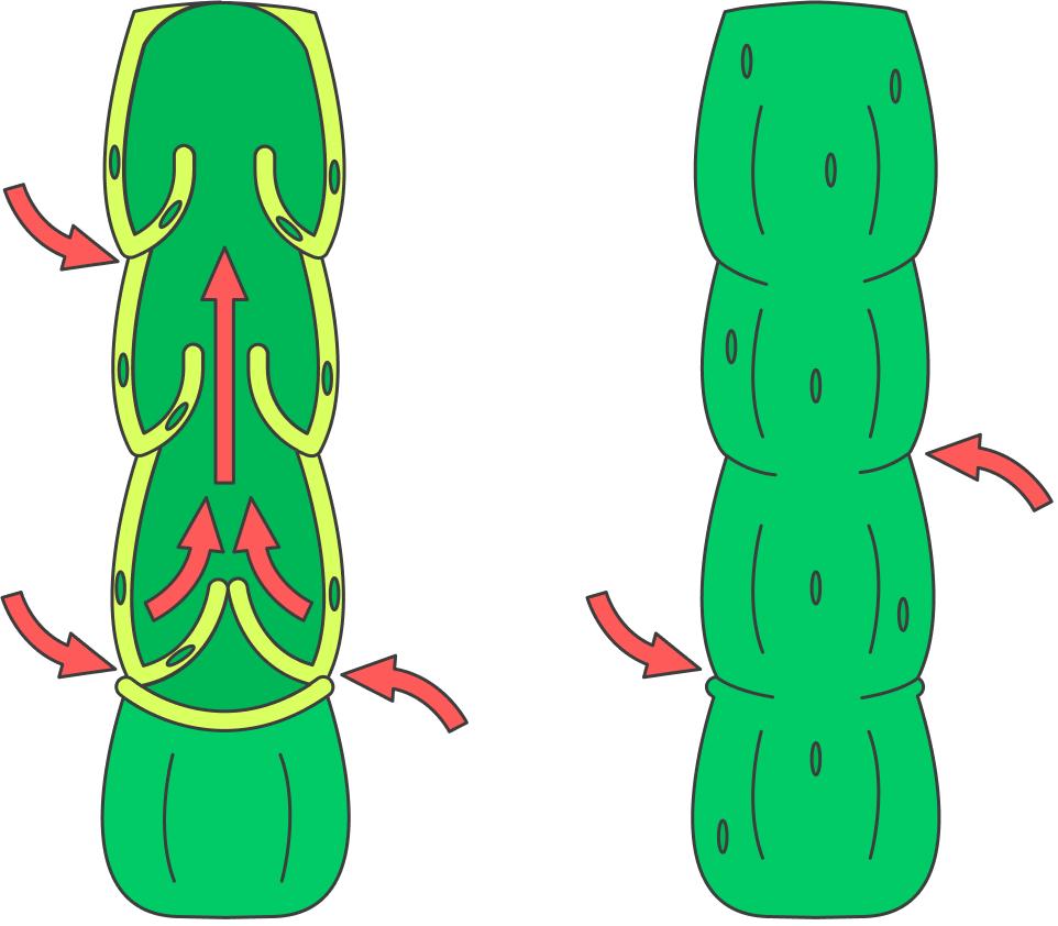 Красной стрелкой показано направление движения лимфы. Кактолько мы начинаем двигаться, клапаны в лимфатических сосудах открываются и пропускают вперед очередную порцию лимфы