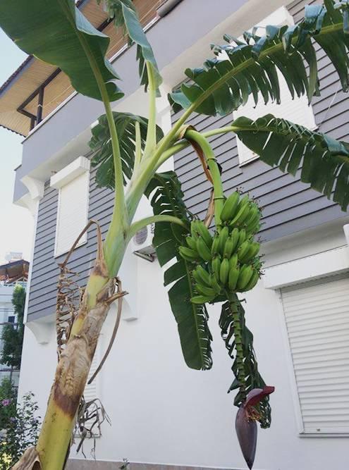 В саду растут бананы, апельсины, лимоны и кумкват. А у соседей даже деревья авокадо посажены
