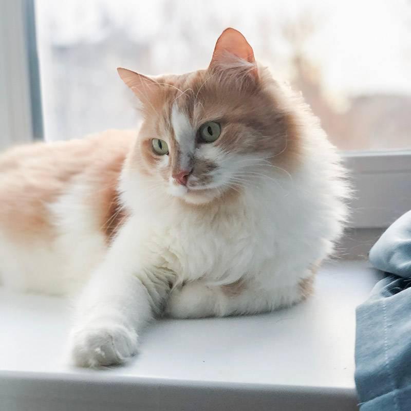 Наш любимый котик сибирской породы весом 7 кг