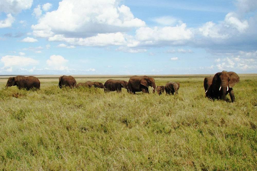 Спокойно гуляющие слоны