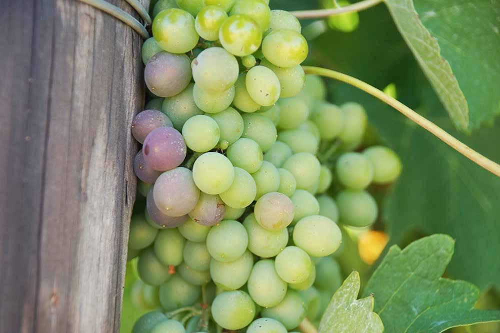 Виноградная лоза на одной из виноделен вблизи Кейптауна