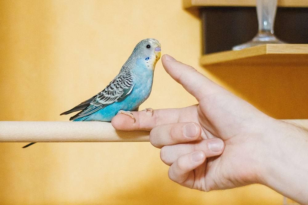 Птенца можно определить по «детскому» оперению. Перья надклювом до первой линьки такиеже пестрые, как на спинке. На фотографии Снежку два месяца. У него еще нет бус, животик голубого цвета, а восковица сиреневая