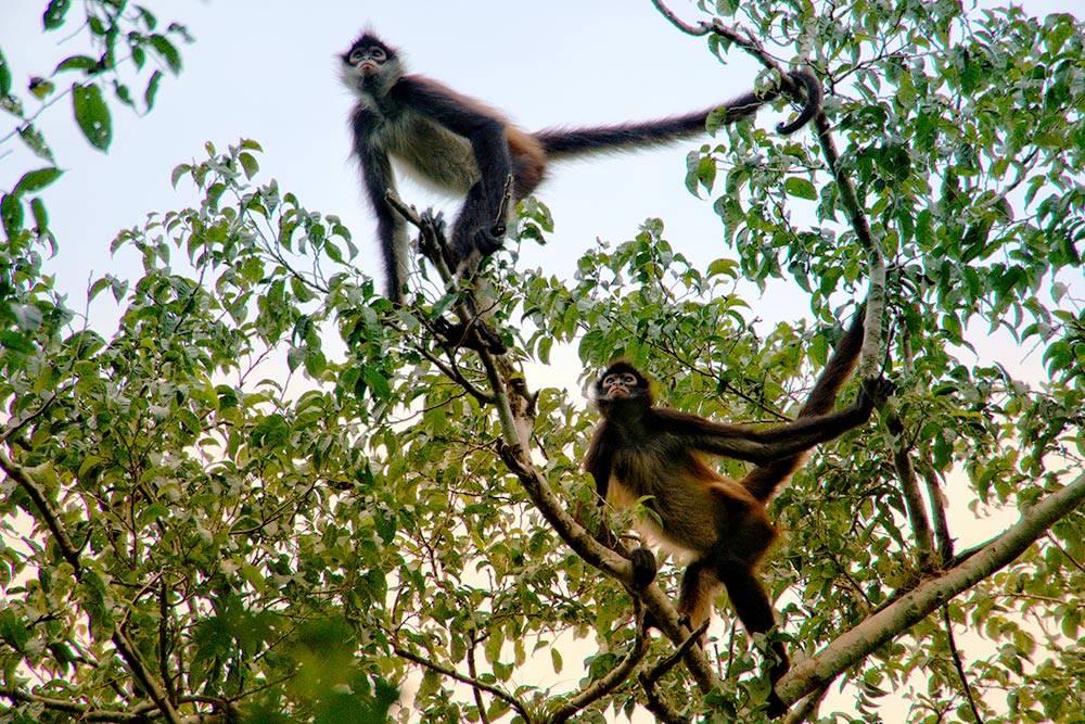 В джунглях Калакмуля живут обезьяны-ревуны. Они очень громко и пугающе кричат и прыгают по верхнему ярусу леса. Чтобы их сфотографировать, мы привлекали внимание, шурша пакетами из-под еды, и использовали зум-объектив
