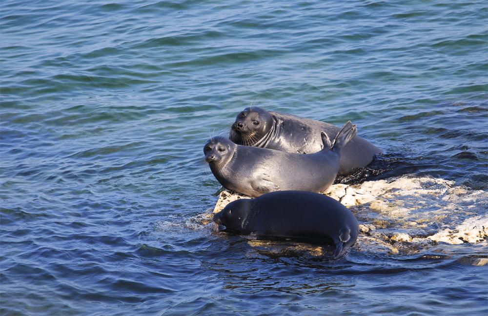 Ушканьи острова, на которых часто отдыхают нерпы — пресноводные родственники тюленей
