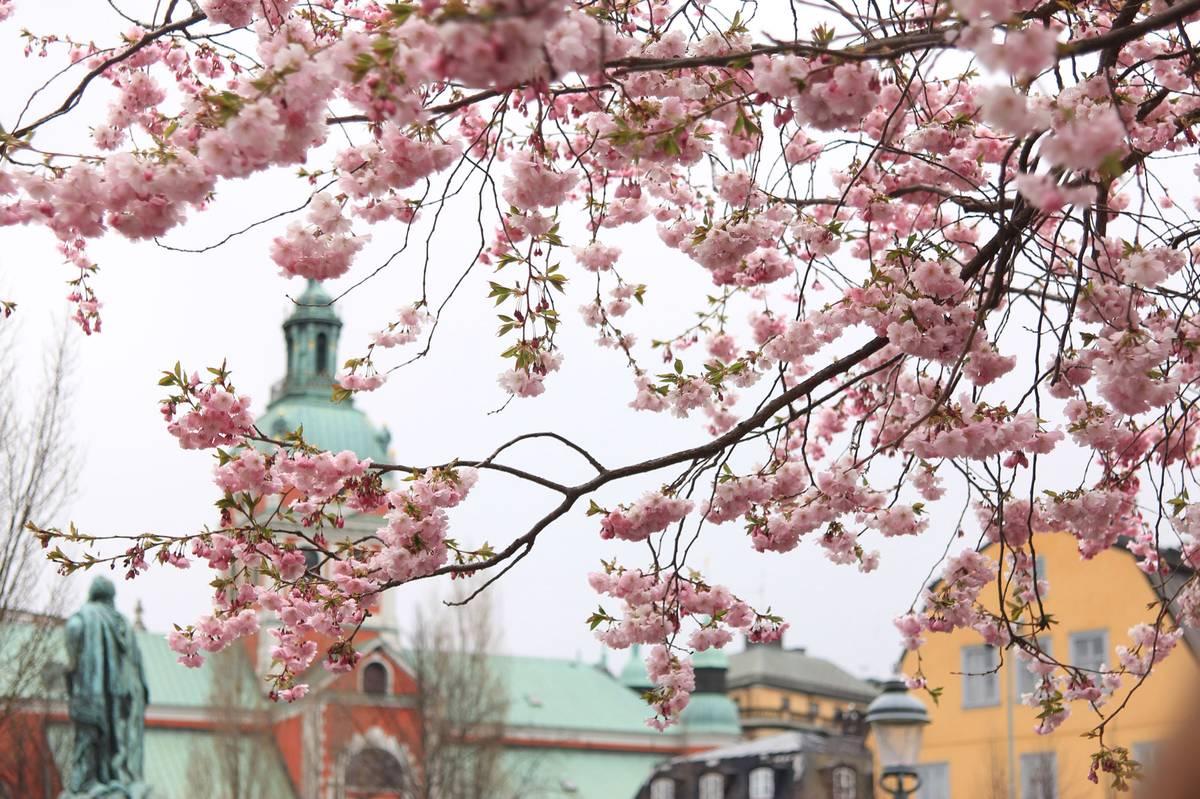 Цветущая сакура в Королевском саду в центре Стокгольма