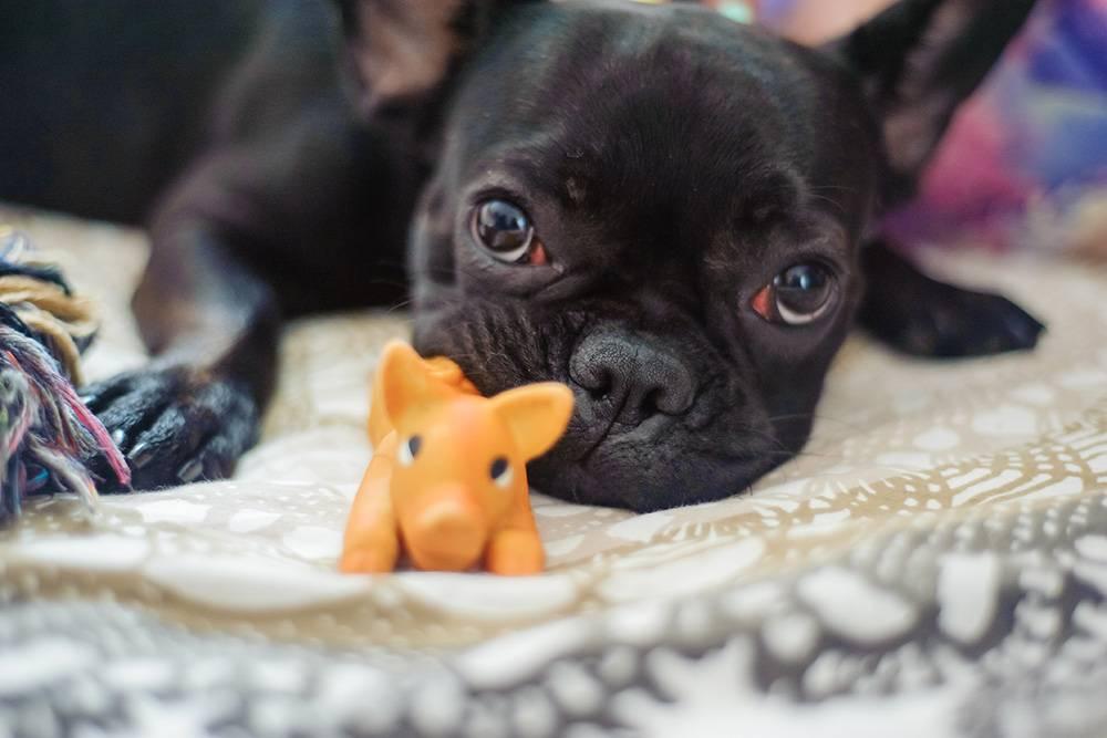 Бижу и ее любимая игрушка-пищалка, которой уже много лет