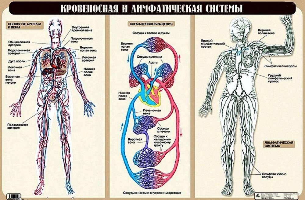 Лимфатическая система похожа на кровеносную, но речь идет о двух разных типах сосудов, которые переносят разные жидкости. Источник: uchitel.pro