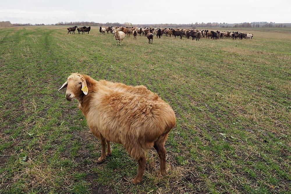 По Липецкой области проще путешествовать на автомобиле. Например, до парка «Олений», где живут и вот такие овечки, общественный транспорт не ходит