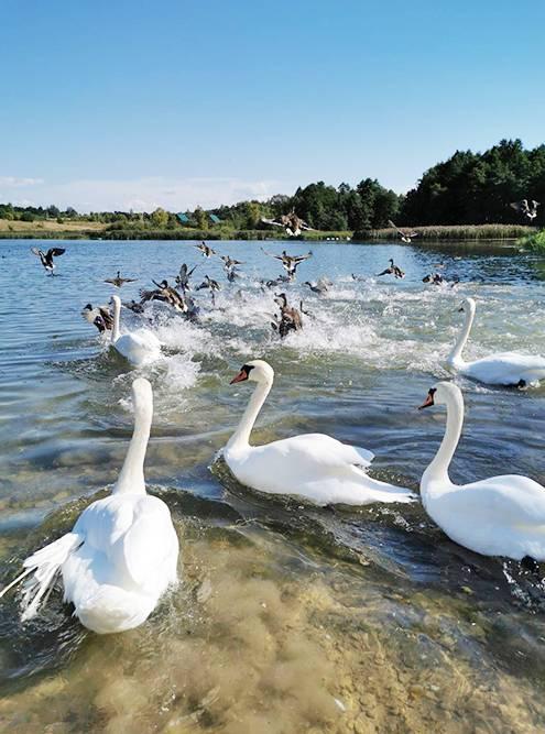 Лебеди на Городищенском озере в Изборске