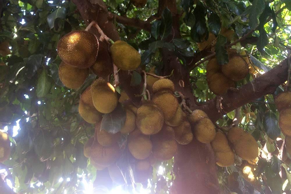 Прямо на улицах города можно было встретить необычный бразильский фрукт. Это жака, илиджекфрут