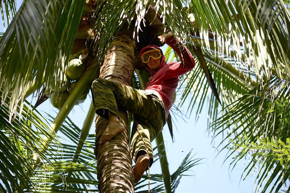 Сборщик кокосов лезет на пальму
