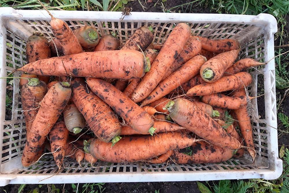 Овощи у нас свои, выращенные на нашем огороде. В этом году особенно удались морковь и свекла, их даже раздавала по соседям