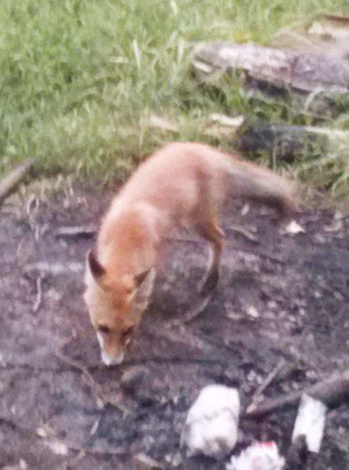 Лисицы тоже часто приходят в лагерь сборщиков в надежде найти что-нибудь вкусненькое