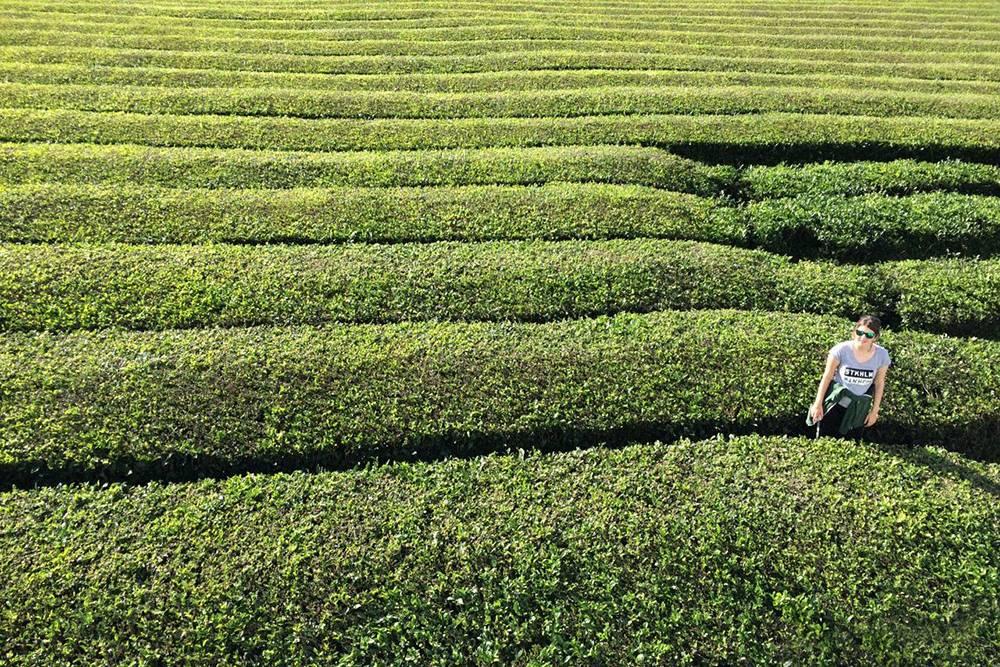 Плантации чая на Азорских островах