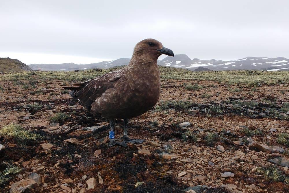 Южнополярный поморник, или птица скуа, — одна из немногих представительниц животного мира Антарктиды. Эти ребята весьма агрессивны, поэтому с ними нужно быть очень осторожными. Кормятся они обычно тем, что воруют у пингвинов их яйца