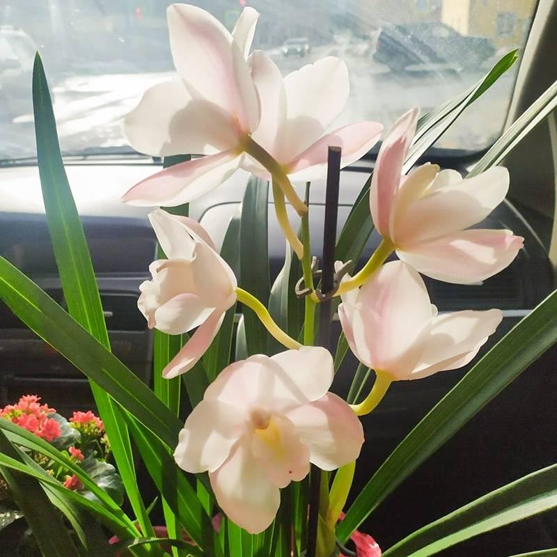 Беру с собой орхидею цимбидиум длямамы и каланхоэ дляее свекрови