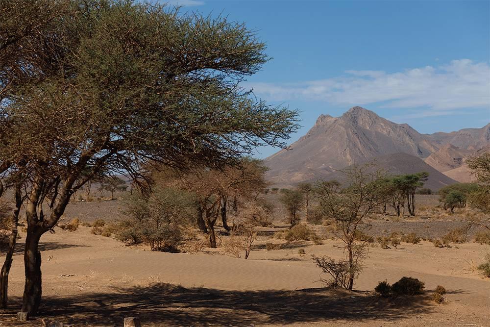 Вдоль дороги растут кустарники с колючками и аргановые деревья, из плодов которых делают ценное масло