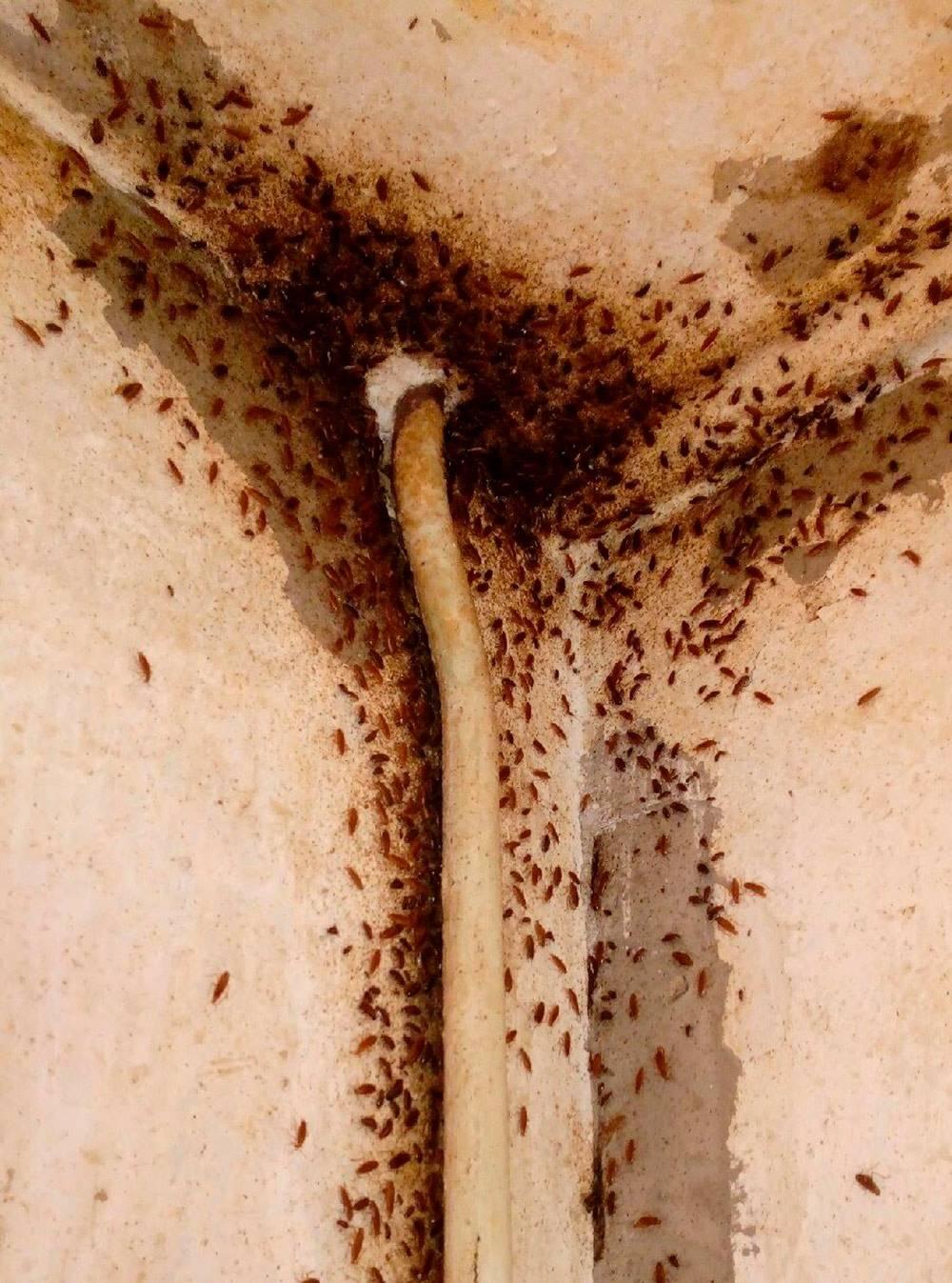 В квартире череповецкого дворника тараканы ползали по водопроводной трубе, пока дыру не заделали монтажной пеной. Этой фотографией со мной поделился дезинсектор