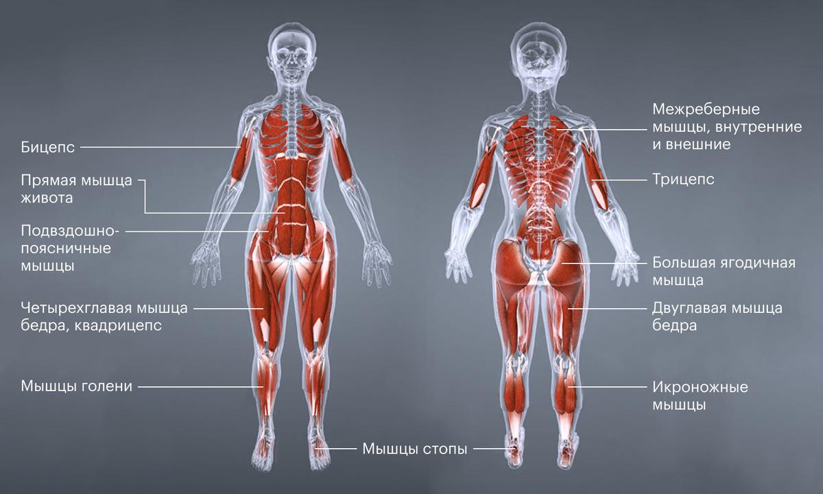 Наглядная схема мускулатуры, задействованной прибеге