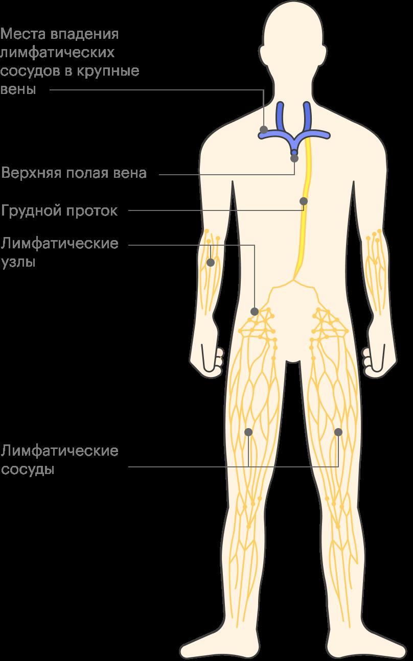 Грудной проток собирает лимфу отбольшей части тела ивозвращает ее ввены