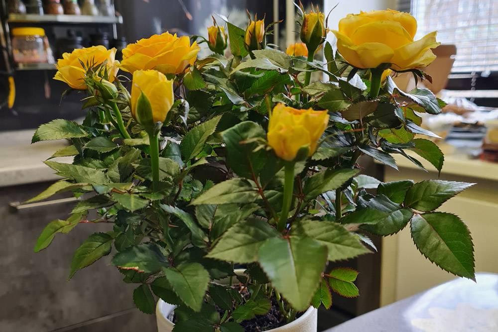 Желтые кустовые розы, которые мне перепали