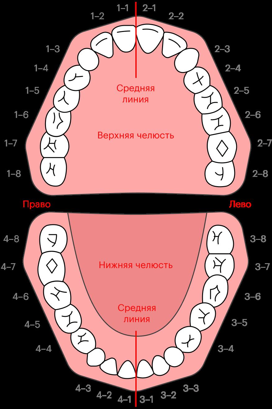 Зубы мудрости — это третьи моляры, то есть самые последние жевательные зубы. В стоматологии есть несколько систем нумерации зубов. По одной из них отсчет начинают со средней линии, тогда третьи моляры будут на восьмой позиции, поэтому их часто называют восьмерками