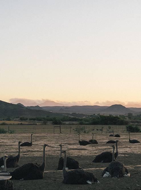 Страусы живут на больших территориях. Им нужно много места, чтобы вести активный образ жизни