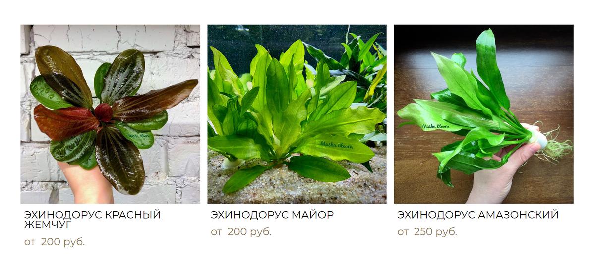 Эхинодорусы и таиландский папоротник — это примеры неприхотливых растений, подходящих длятропического аквариума. Источник: mashabloom.ru
