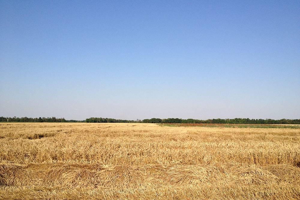 На обратном пути мы видели поля с созревшими колосьями пшеницы, которые пора было убирать