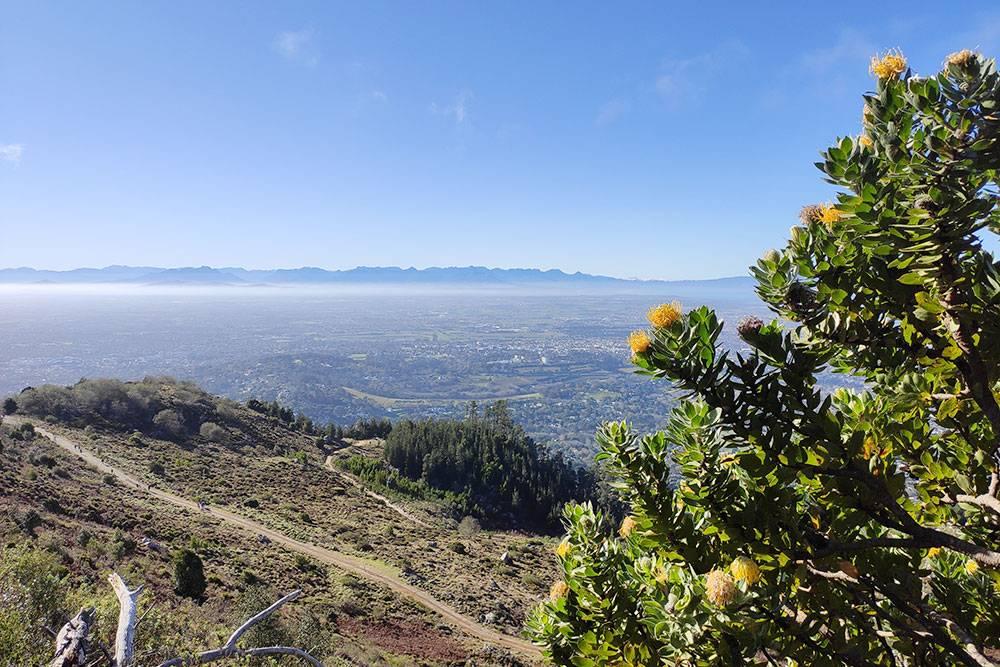 Весенние протеи, вид со склона Столовой горы в Кейптауне