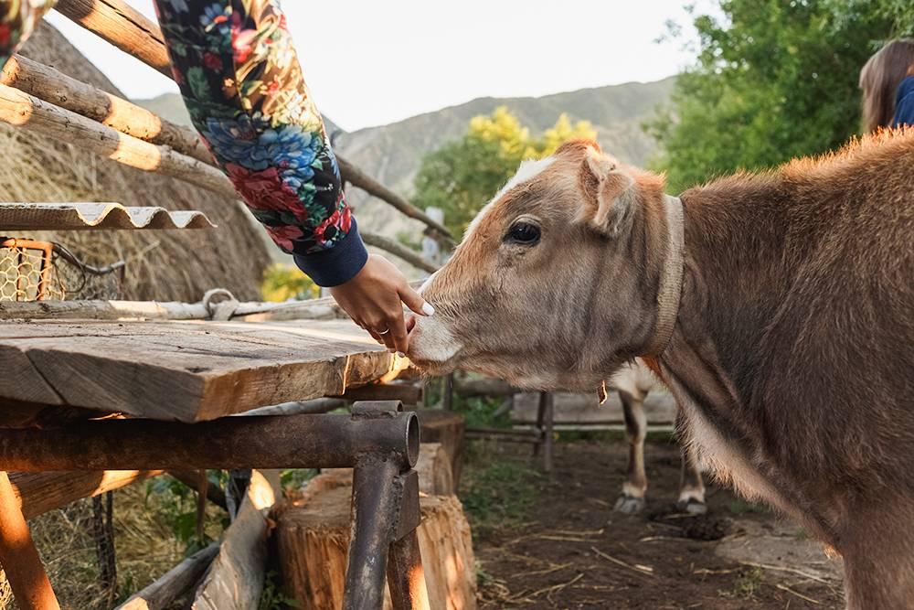 В гостевом доме в поселке Саты, где мы ночевали, были свои коровы. С утра нам разрешили их подоить, а потом показали, как гнать сметану. Нам очень понравилось!