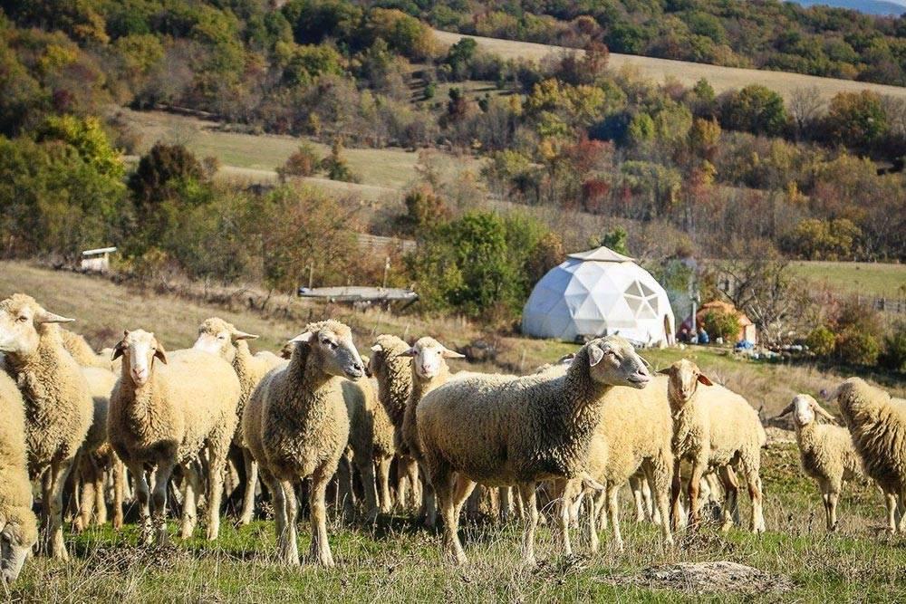 Отара овец в Бельбекской долине