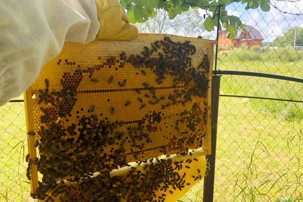 Пропустил одни выходные, и пчелы снизу рамки почти отстроили еще одну, заселив соты трутнем. К сожалению, это «язык» приходится срезать — тоже вместе с трутнем