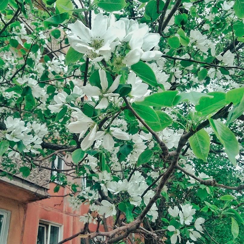 По дороге на работу можно полюбоваться цветущими яблонями