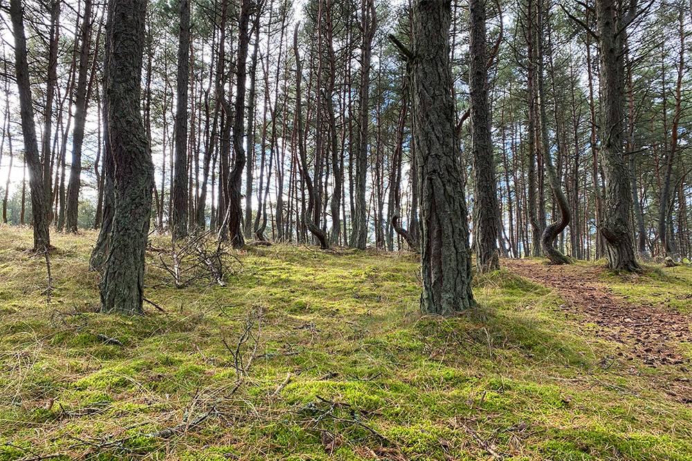 Далеко не все деревья извиваются. Кривые сосны соседствуют с абсолютно прямыми. Из-за этого возникает еще больше вопросов, почему так происходит